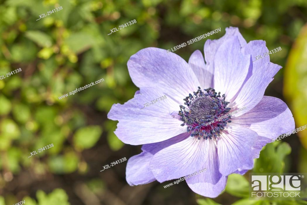 Poppy Anemone Flower Scientific Name Anemone Coronaria Stock