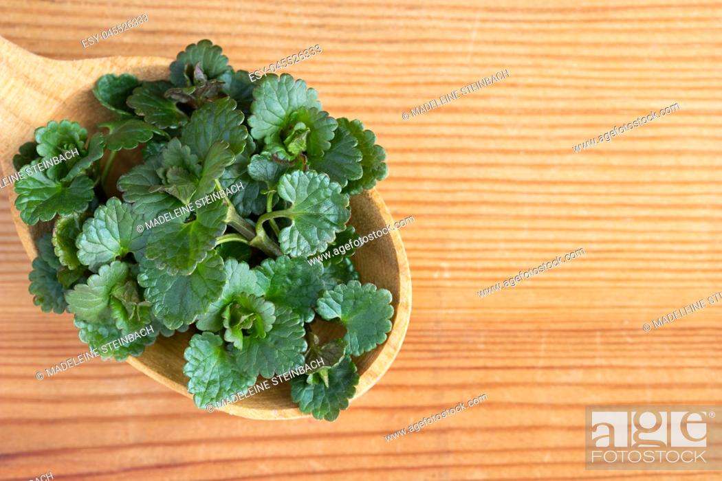 Stock Photo: Young ground-ivy (Glechoma hederacea) leaves on a wooden spoon.