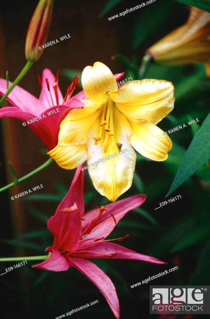 Stock Photo: Lilies, two red-purple, one gold and white, against dark background.