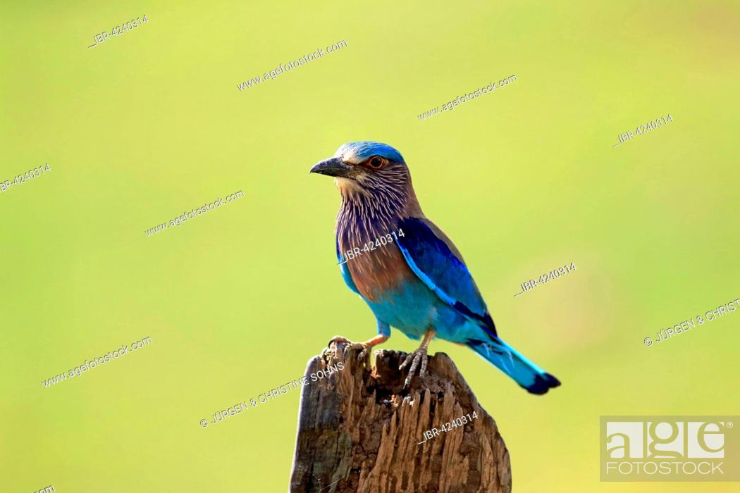 Stock Photo: Indian roller (Coracias benghalensis), adult on the lookout, on an old tree trunk, Udawalawe National Park, Sri Lanka.