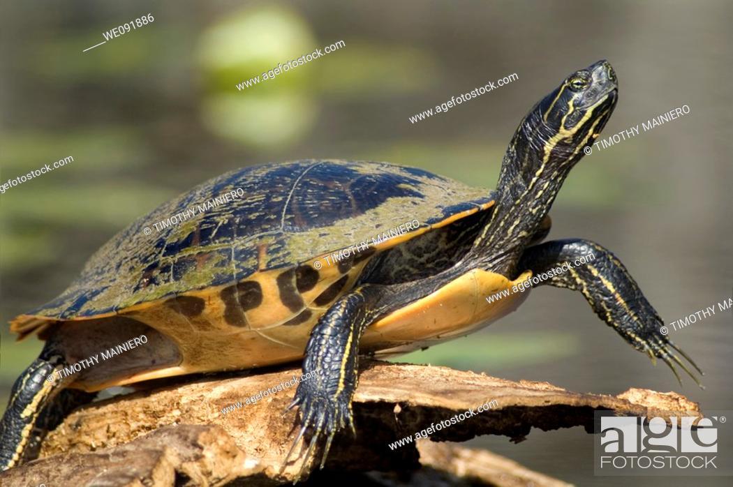Stock Photo: Turtle sunning on log - pond slider.