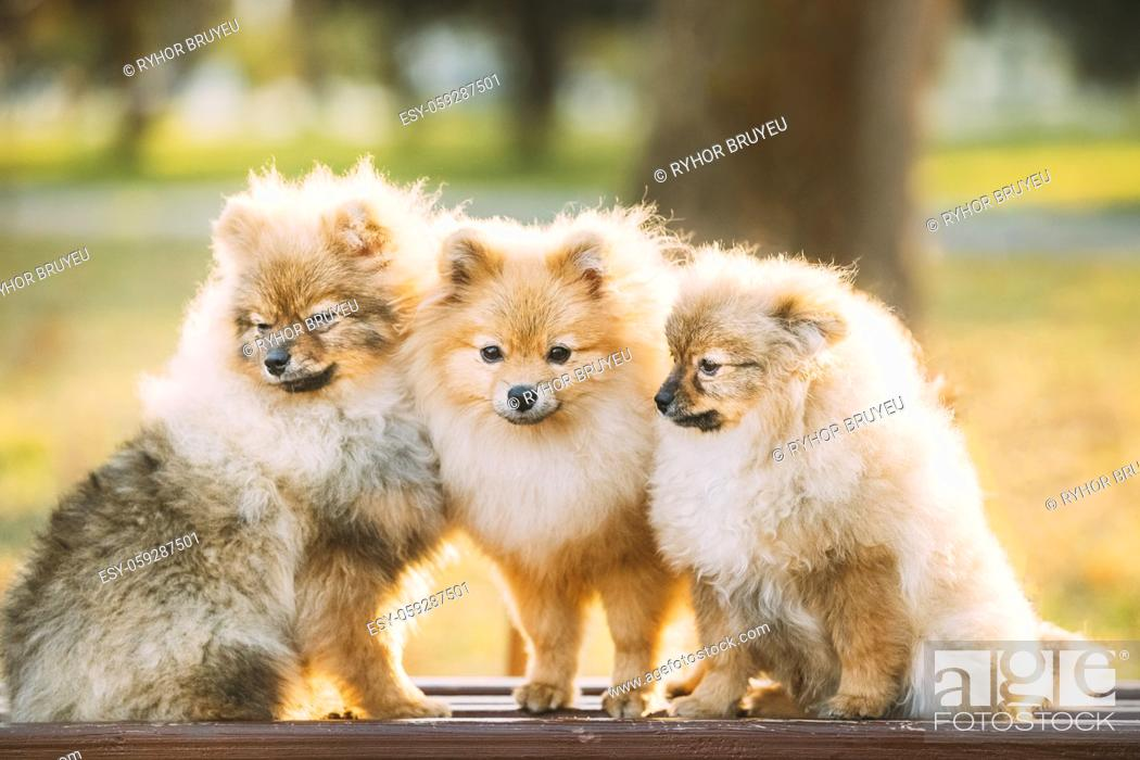 Stock Photo: Three Young Red Puppy Pomeranian Spitz Puppy Dogs Sitting On Park Bench Outdoor.