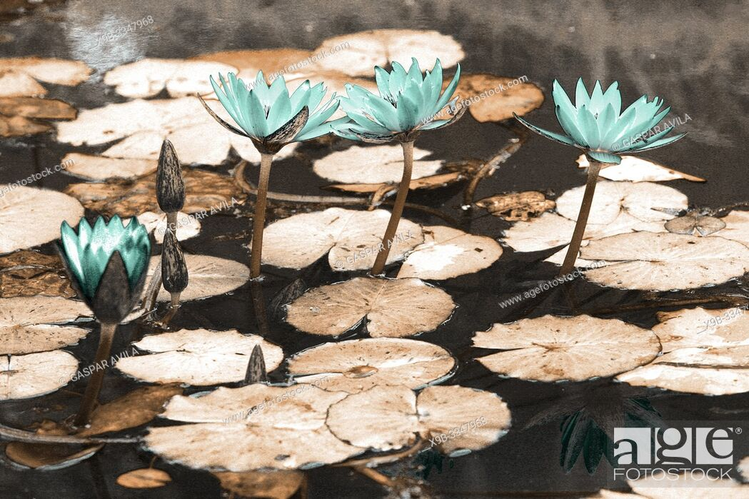 Stock Photo: Simulated infrared photo of waterlilies in Terra Nostra Park. Furnas, Azores islands.