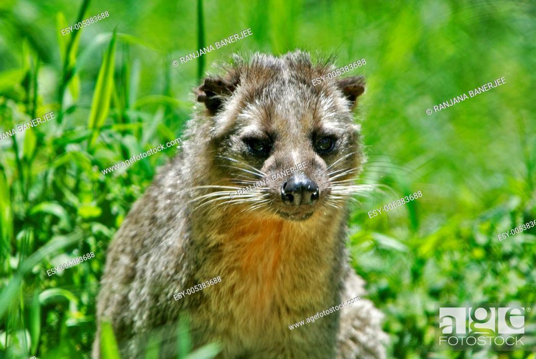 Himalayan Palm Civet Paguma larvata ; Gangtok Zoo ; Sikkim ...