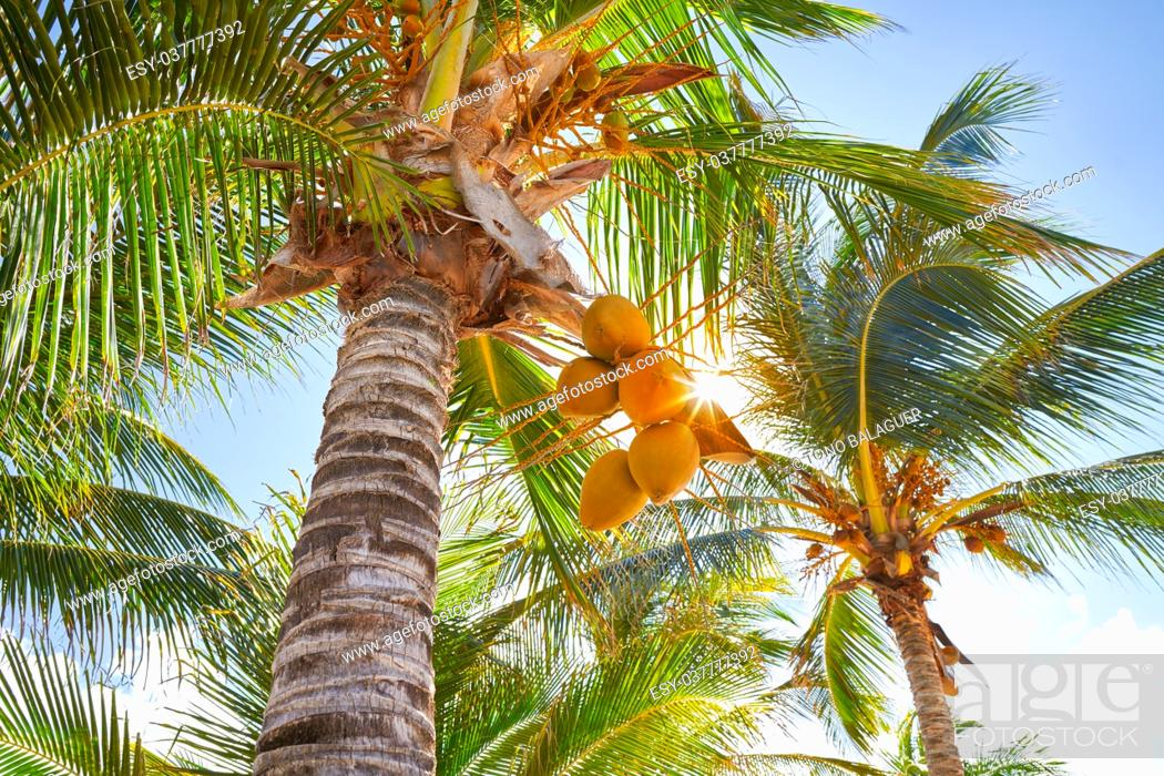 Stock Photo: Tropical coconut palm trees in Caribbean Mexico.