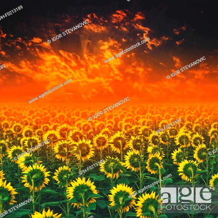 Stock Photo: Sunflower field.