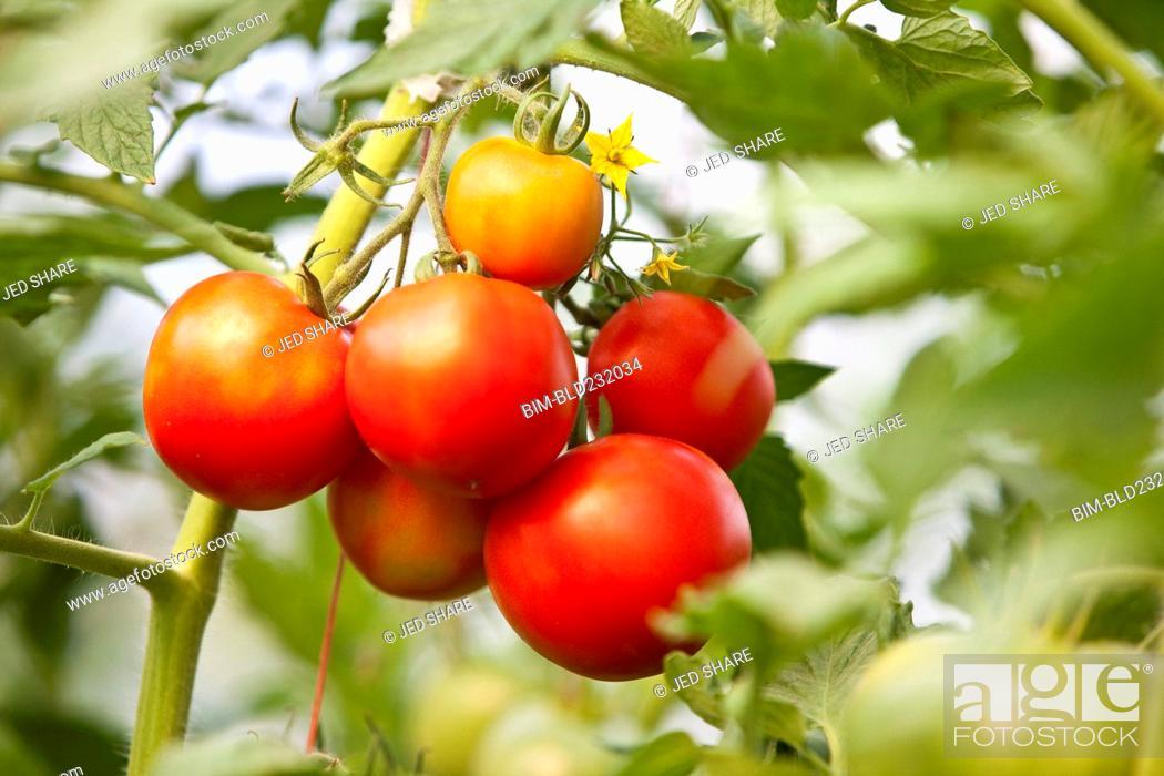 Stock Photo: Tomatoes on vine.