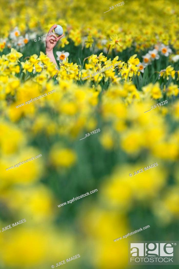Stock Photo: Young girl finding Easter egg in field of daffodils.