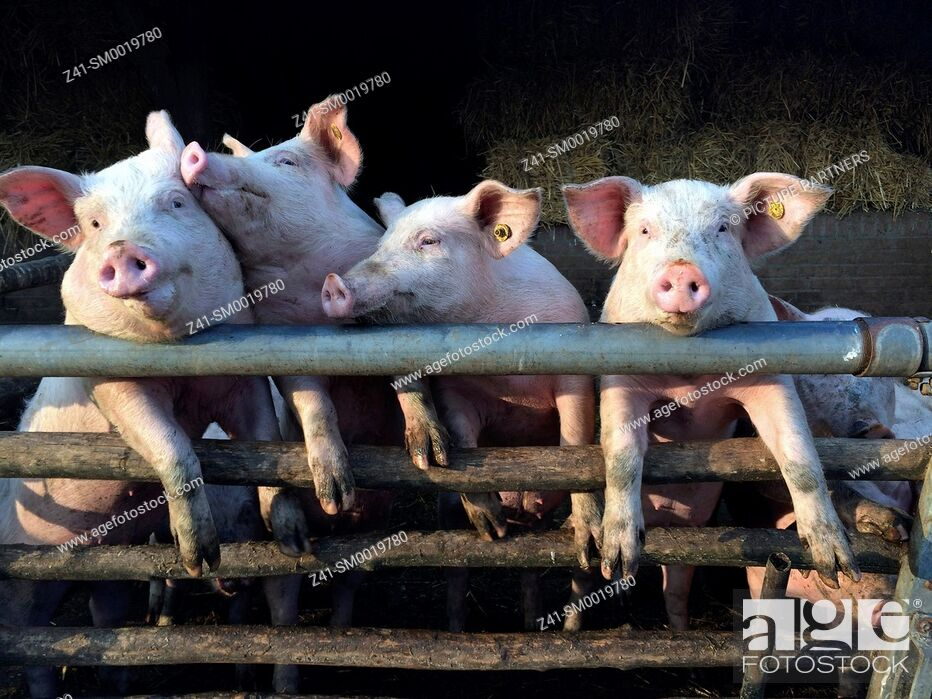 Photo de stock: For pink pigs in a stable.