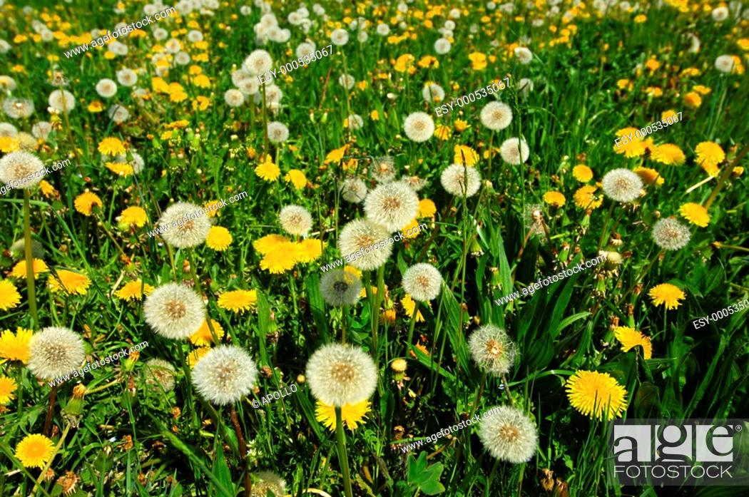 Stock Photo: Spring meadow in May with Common Dandelion Taraxacum officinale.