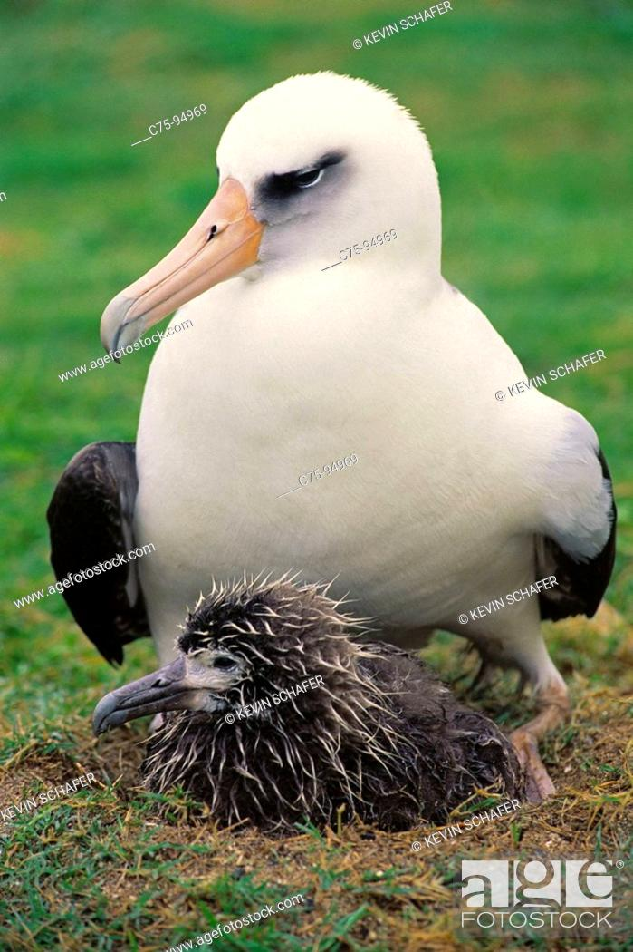 Stock Photo: Laysan Albatross (Diomedea immutabilis) adult with chick. Midway Atoll, Hawaii, USA.
