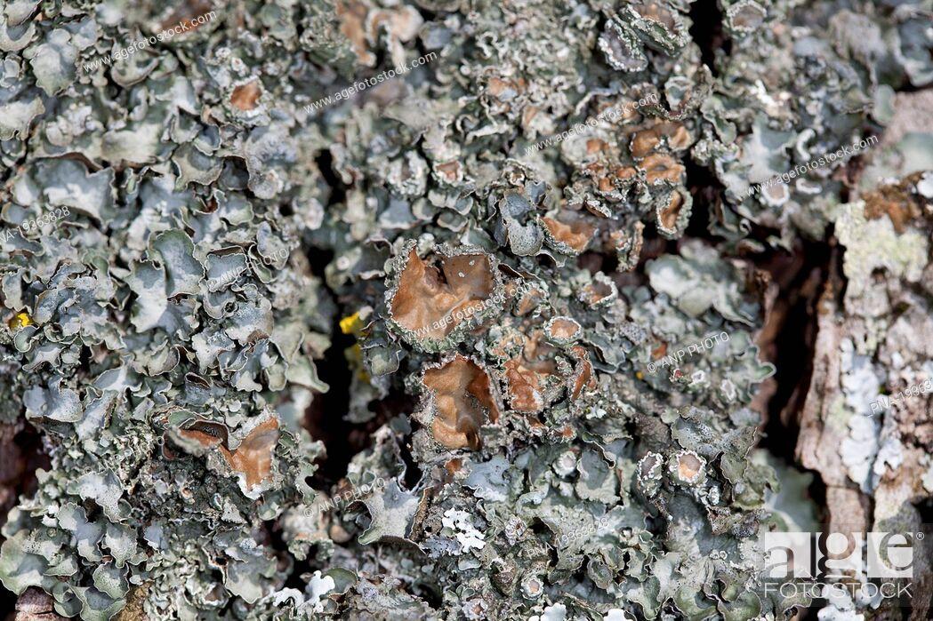 Stock Photo: Pleurosticta acetabulum - Hohn Valley, Kelmis, Liege, Wallonia, Belgium, Europe.