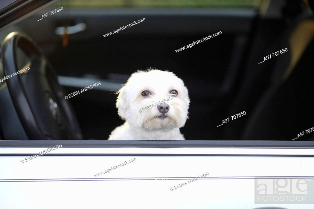 Stock Photo: Lonely white dog waits in car for master.