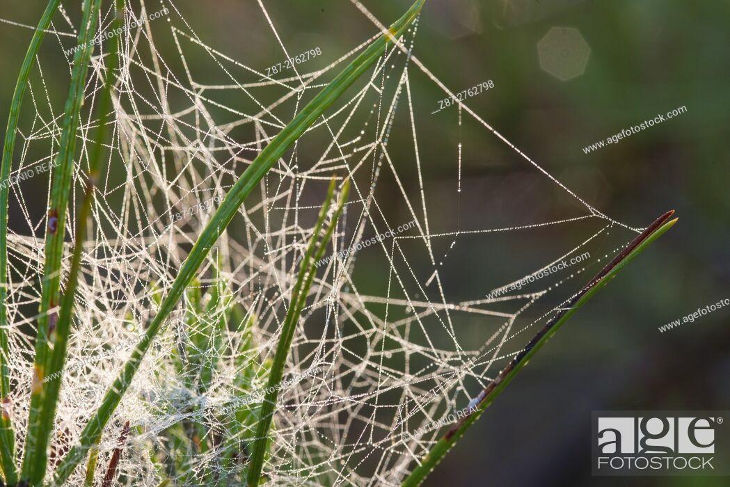 Stock Photo: Spider web on pine tree (Pinus halepensis). Almansa, Albacete province, Castilla-La Mancha, Spain.