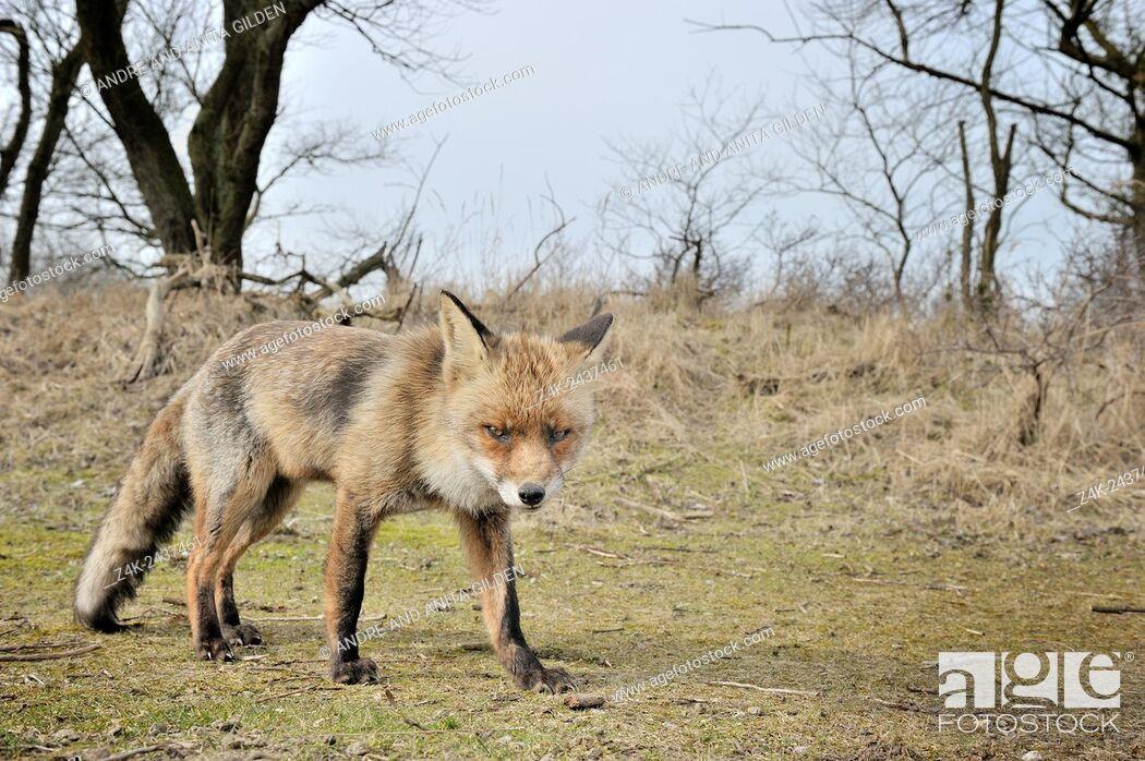 Imagen: Red Fox (Vulpes vulpes) standing close up looking at camera, Netherlands.