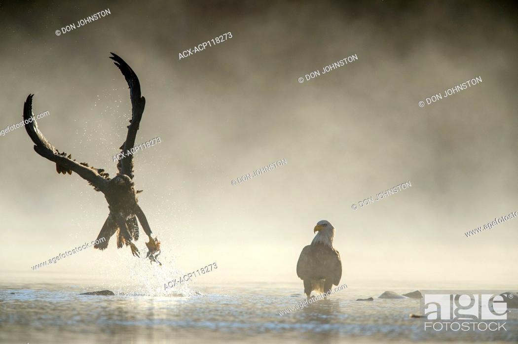 Stock Photo: Bald eagle (Haliaeetus leucocephalus)- Attracted to sockeye salmon run on the Chilko River, Chilcotin Wilderness, BC Interior, Canada.