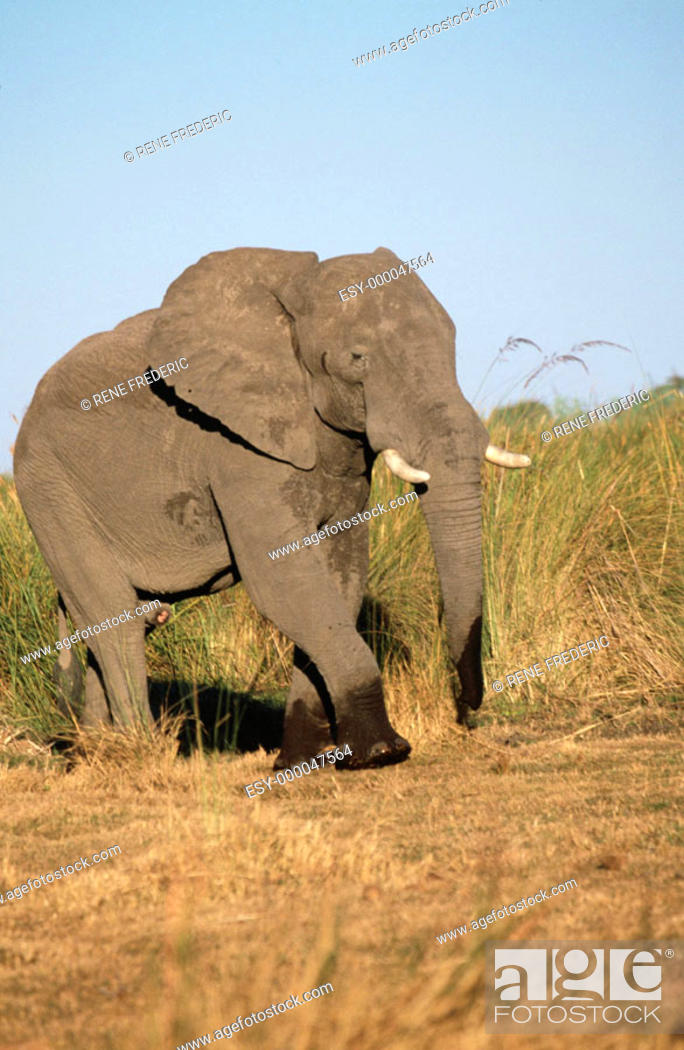 Stock Photo: African elephant (Loxodonta africana). Linyanti Swamp. Botswana.