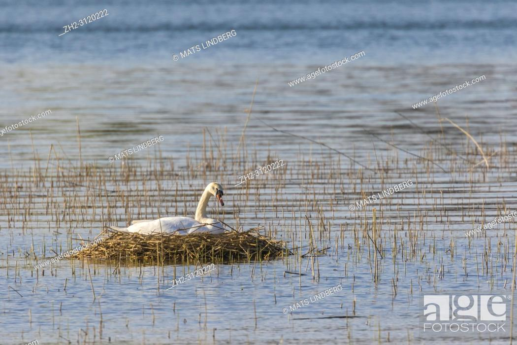 Stock Photo: Brooding mute Swan on nest out on a lake, Södermanland, Sweden.