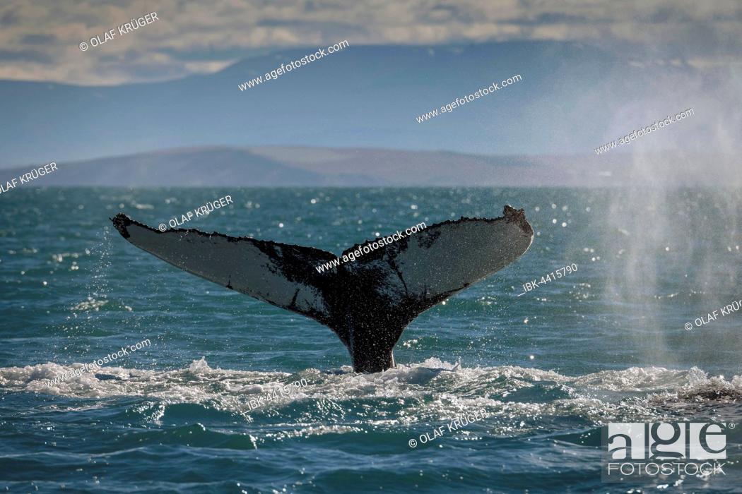 Imagen: Tail, flukes, diving humpback whale (Megaptera novaeangliae), Eyjafjörður, Iceland.