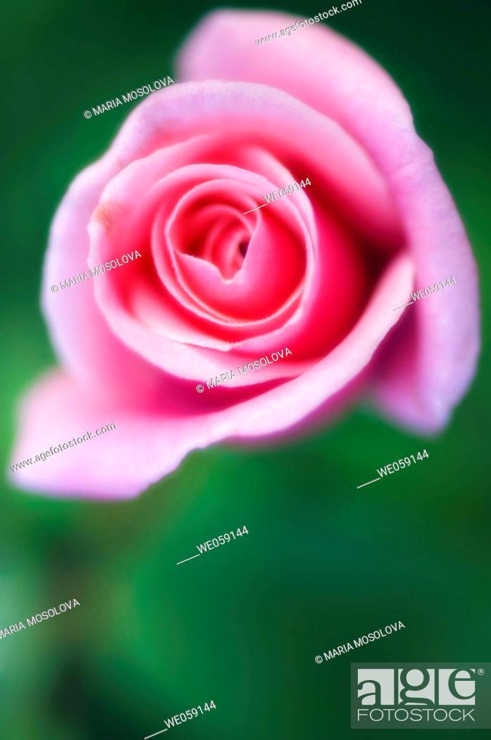 Stock Photo: Pink Rose (rosa hybrid). August 2006, Maryland, USA.