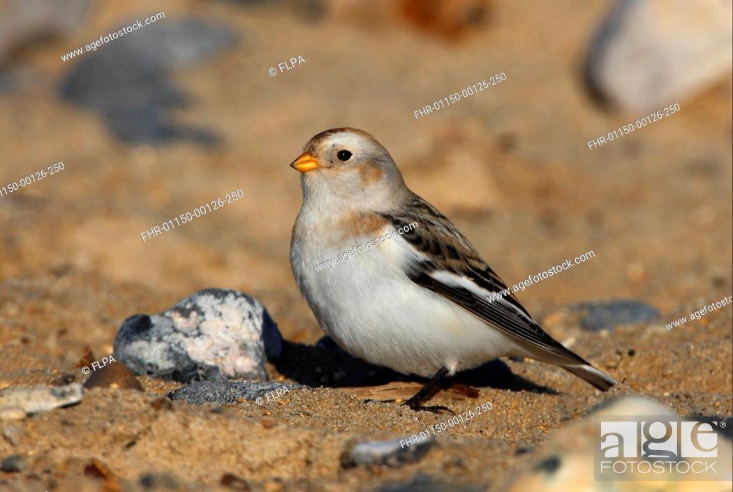 Stock Photo: Snow Bunting Plectrophenax nivalis adult male, winter plumage, standing on sandy beach, Norfolk, England, november.