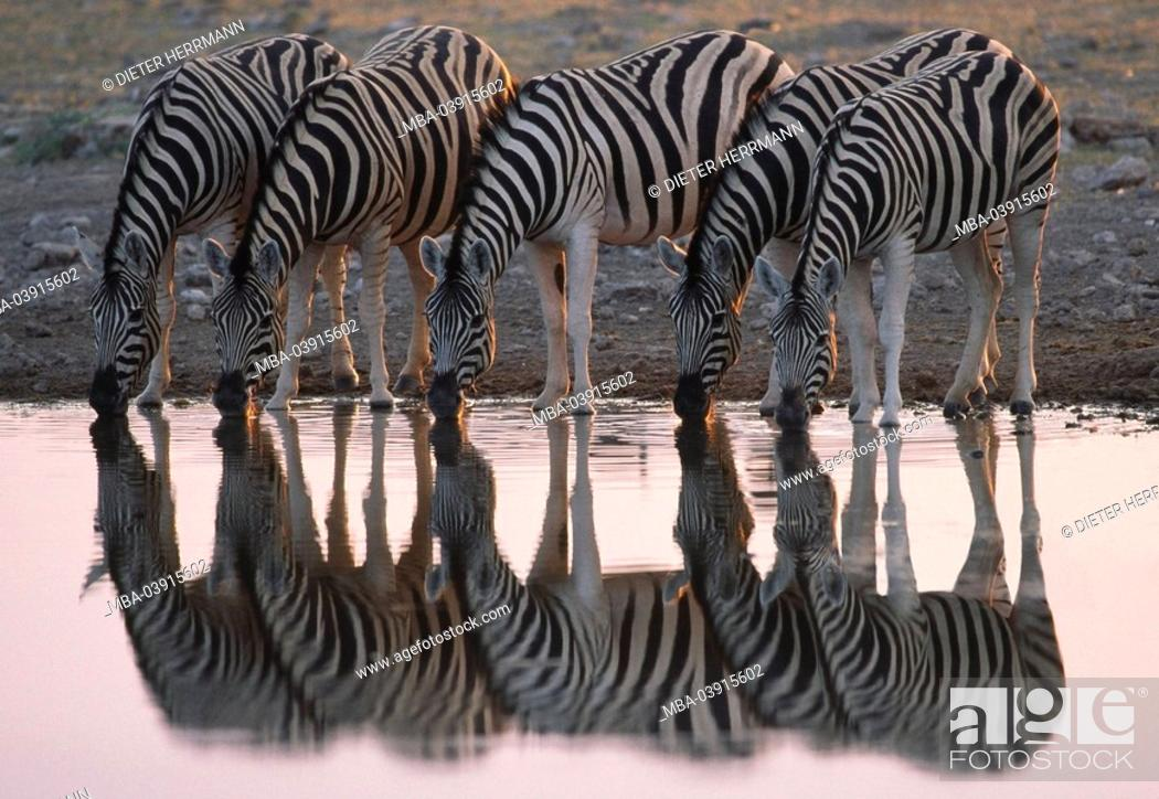 Stock Photo: Riversides, Plains Zebras, Equus quagga, drinks, reflection, water-surface, Africa, South Africa, southwest-Africa, Namibia, Etosha, Etosha Natioal park, nature.