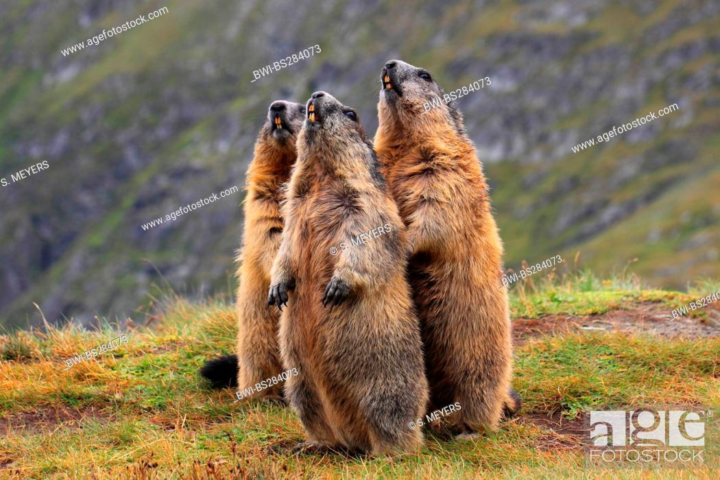 Alpine Marmot, Hohe Tauern National Park, Austria бесплатно