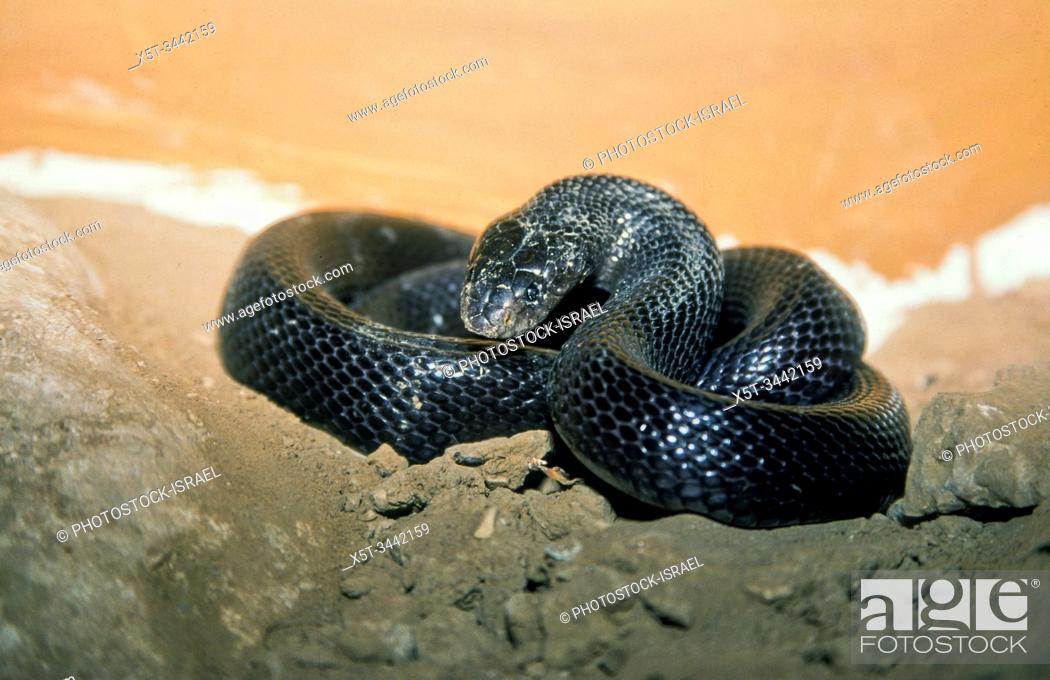 Stock Photo: Walterinnesia aegyptia known commonly as desert black snakes or black desert cobras, which are endemic to the Middle East. Photographed in Israel.