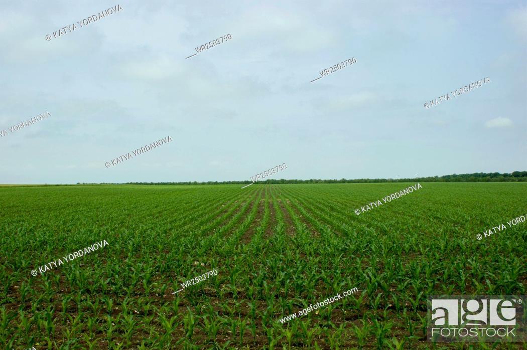 Stock Photo: Green wheat field.