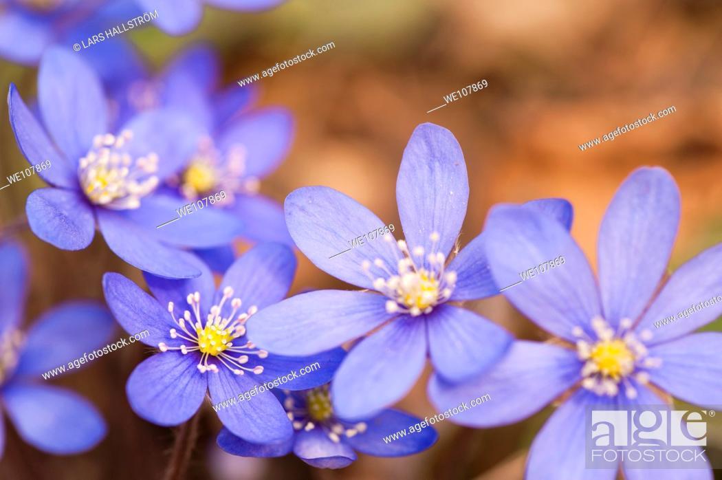 Stock Photo: Liverwort Hepatica nobilis, Sweden.