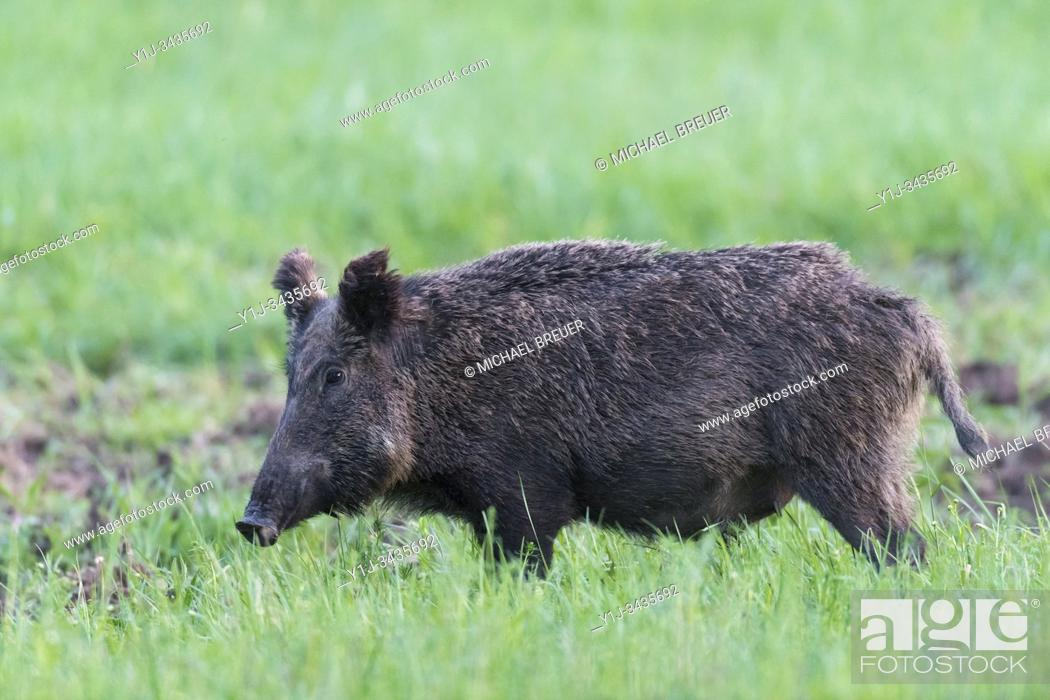 Stock Photo: Wild boar (Sus scrofa) in springtime, Female, Hesse, Germany, Europe.