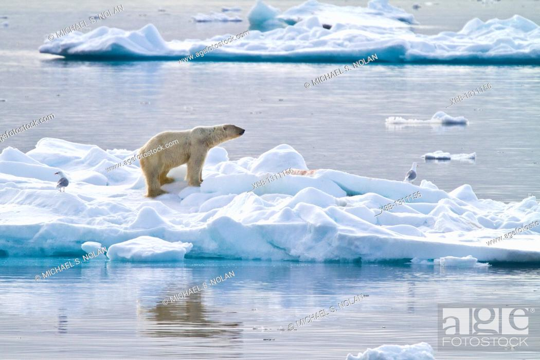 Photo de stock: Adult polar bear Ursus maritimus feeding on seal carcass on multi-year ice floes off the coast of Edgeøya Edge Island in the Svalbard Archipelago.