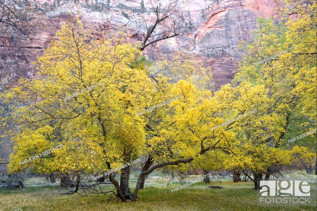 Box Elder Acer Negundo Habit Leaves In Autumn Colour In Desert