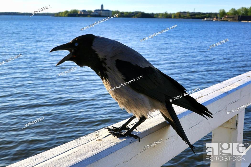 Stock Photo: Hooded Crow, Corvus cornix, cawing on the wooden railing of the seafront pier. Shallow dof, focus on bird.