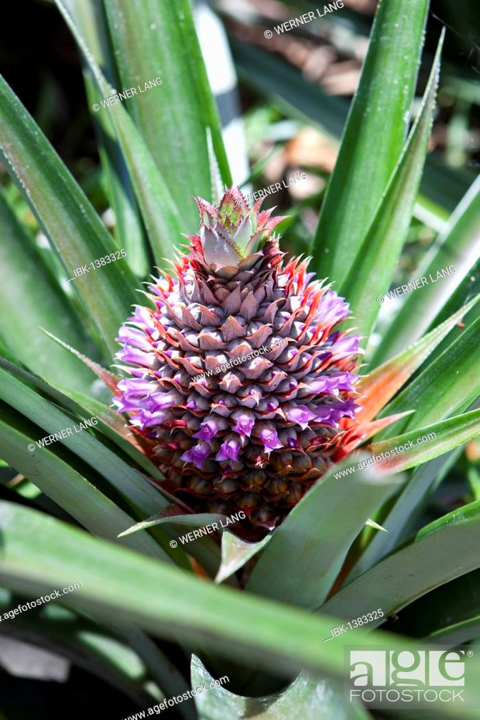 Stock Photo: Wild pineapple (Ananas comosus), Seychelles, Africa, Indian Ocean.
