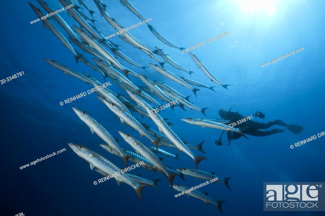 Imagen: Shoal of Blackfin Barracuda, Sphyraena qenie, Tufi, Solomon Sea, Papua New Guinea.