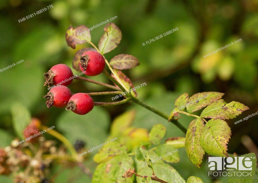 Stock Photo: Field Rose (Rosa arvensis) close-up of ripe rosehips, Dorset, England, September.