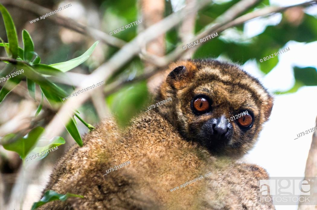 Stock Photo: A common Brown Lemur in Andasibe forest in Eastern Madagascar.