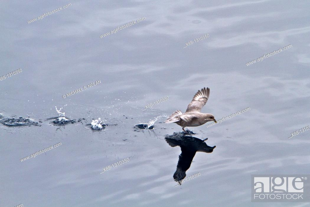 Stock Photo: Northern fulmar Fulmarus glacialis glacialis on the wing in the Svalbard Archipelago, Norway  MORE INFO Though similar in appearance to gulls.