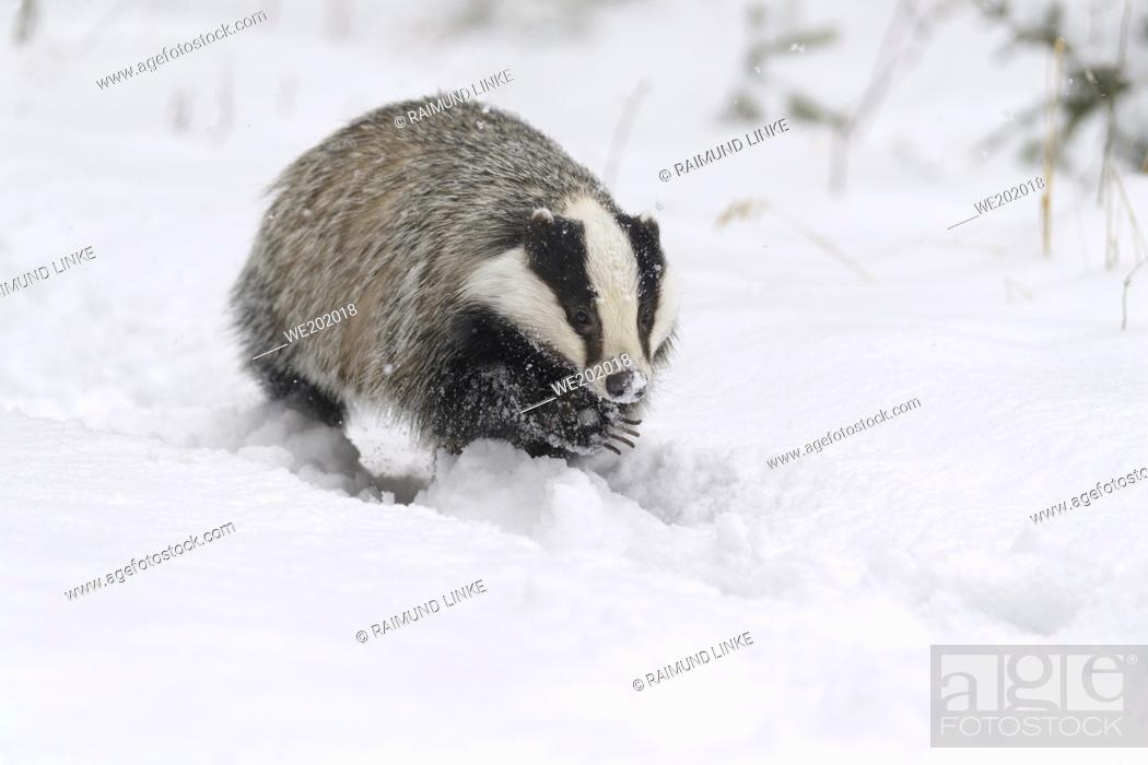 Imagen: Badger, Meles meles, in winter.