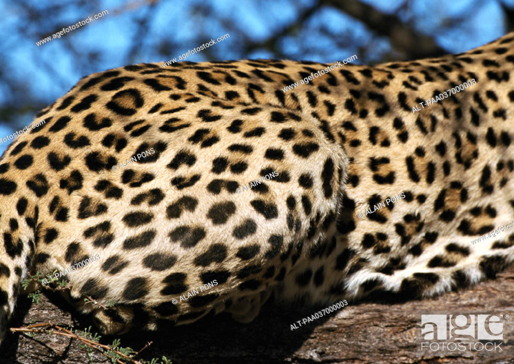 Stock Photo: Africa, Namibia, leopard, focus on rear.