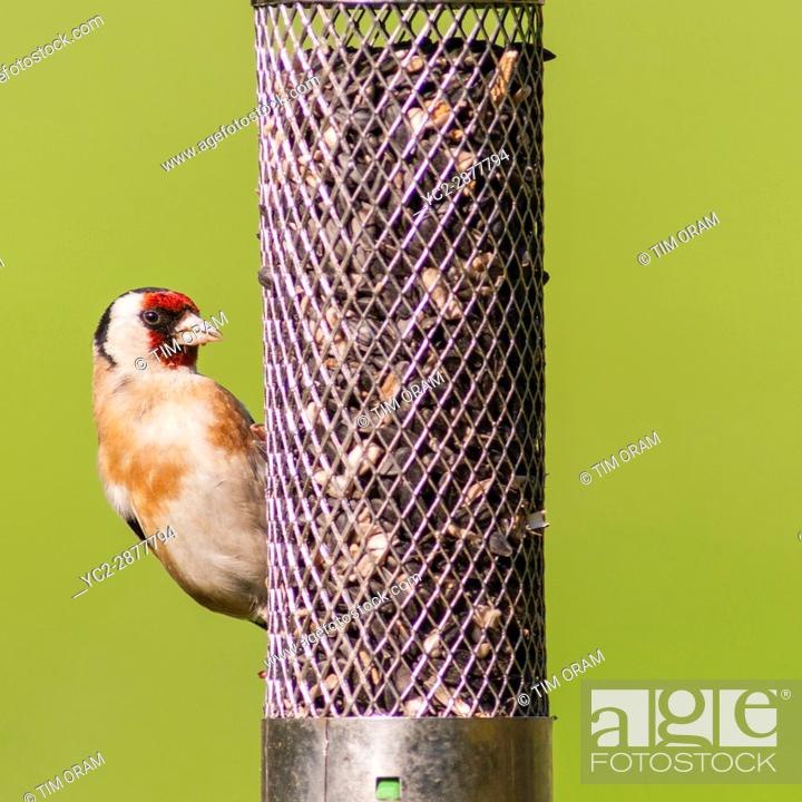 Stock Photo: A Goldfinch (Carduelis carduelis) eating sunflower hearts and seeds in the Uk.