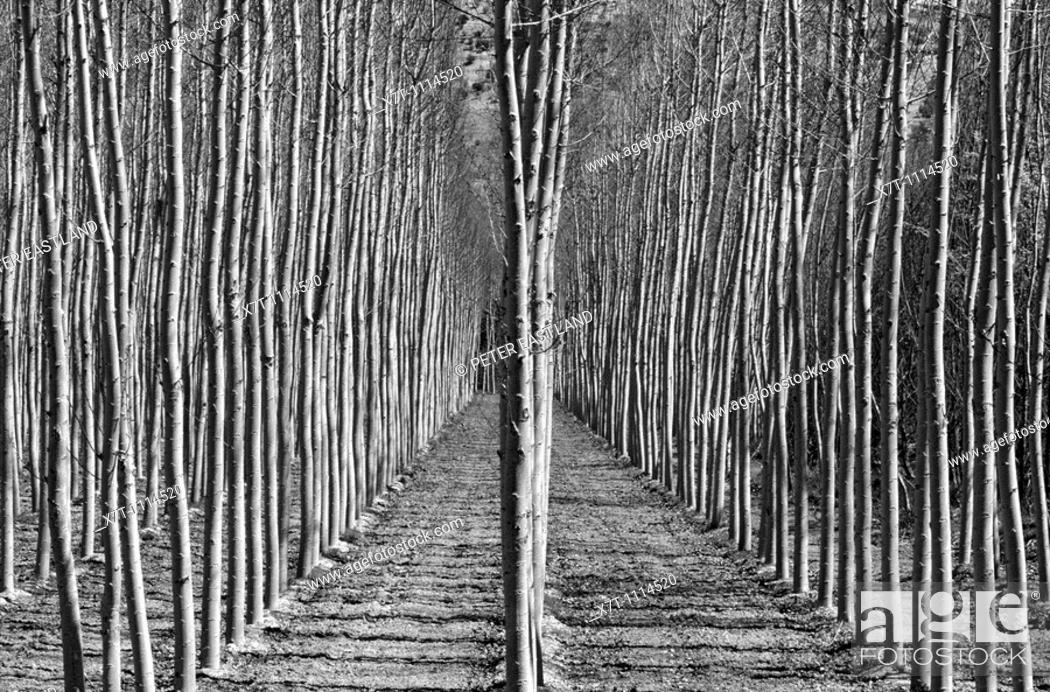 Stock Photo: Stands of poplar trees near Alhama de Granada in Granada province, Southern Spain.