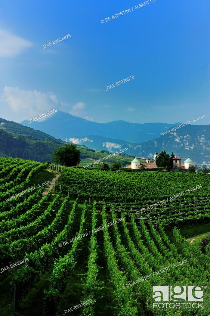 Imagen: Vineyards in San Michele all'Adige, Rotaliana plateau, Trentino-Alto Adige, Italy.