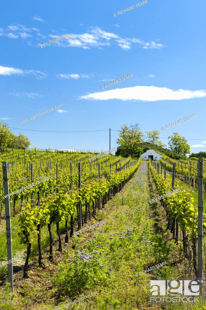 Imagen: floral spacing in organic vineyard, Moravia, Czech Republic.