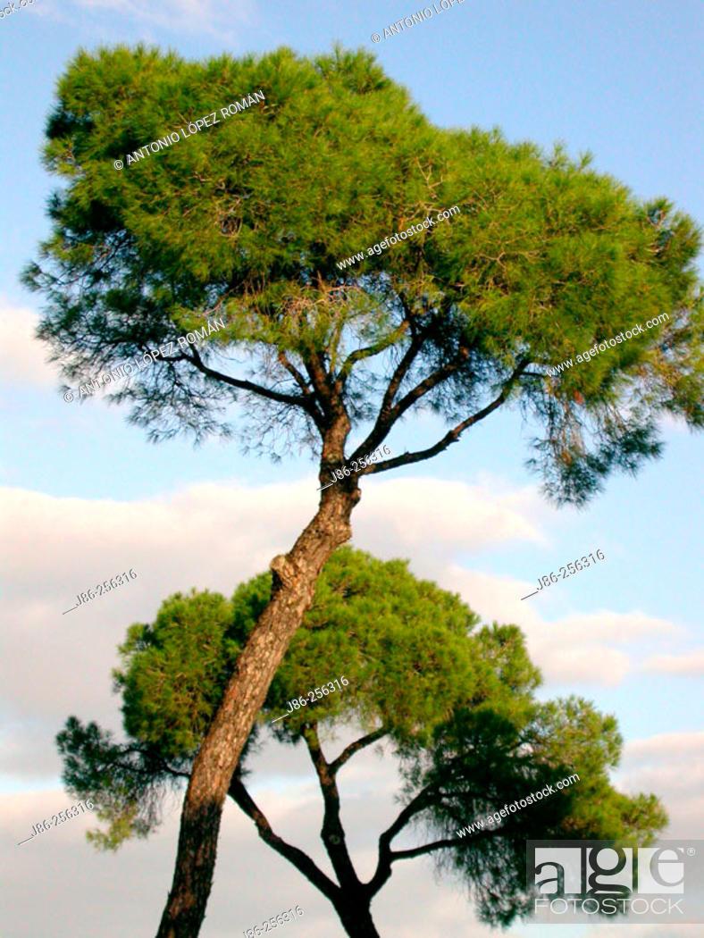 Stock Photo: Stone pines (Pinus pinea).