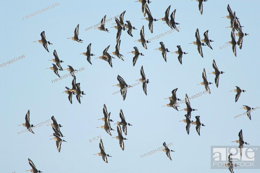 Stock Photo: Black-tailed Godwit Limosa limosa flock in flight, over coastal grazing marsh, Norfolk, England, december.