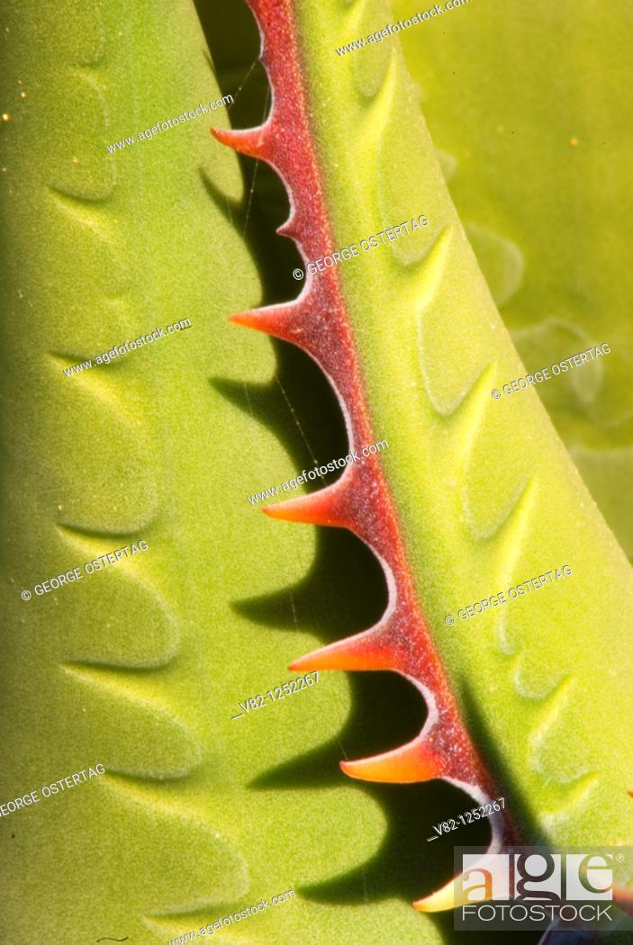 Stock Photo: Shaw's agave, Torrey Pines State Reserve, CA.