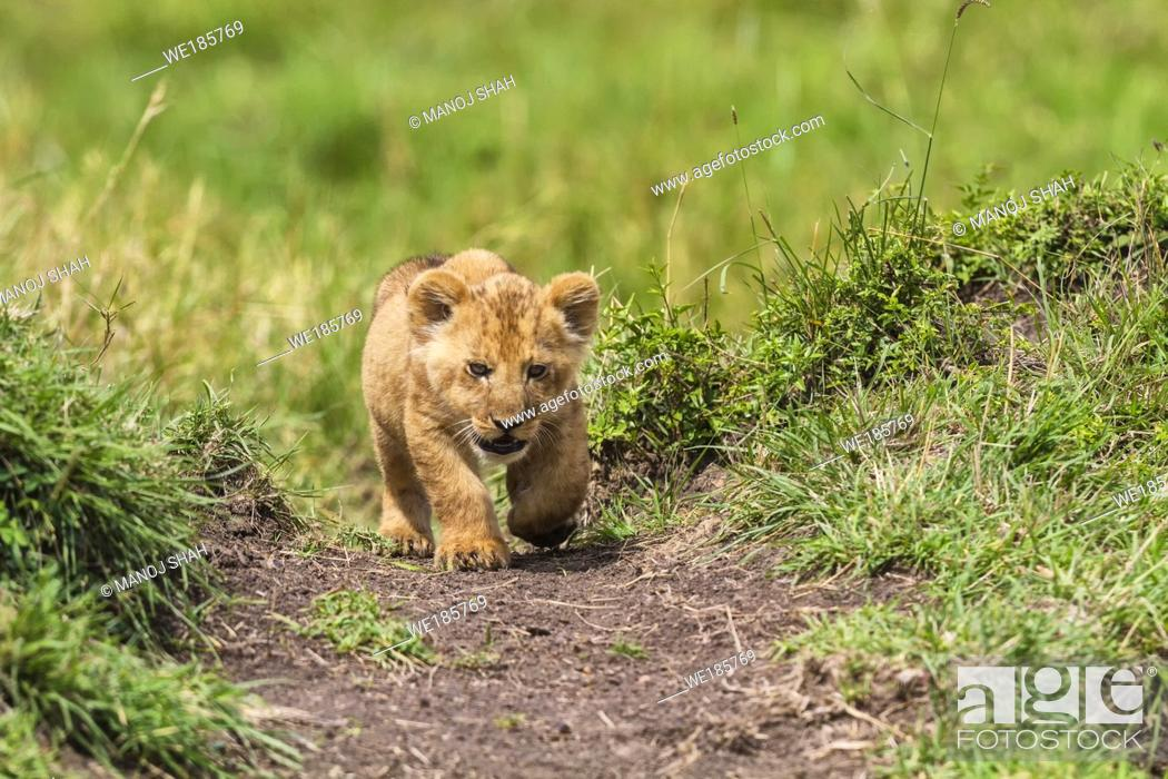 Stock Photo: Lion cub walking straight to the camera.