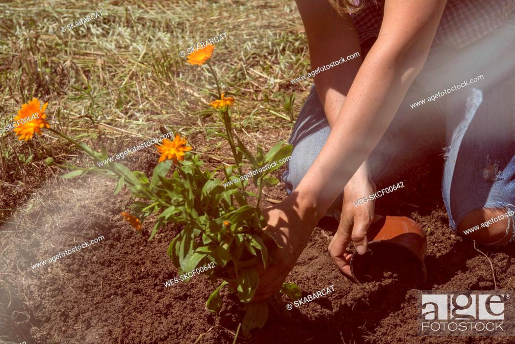 Imagen: Woman planting flowers on land in garden during sunny day.